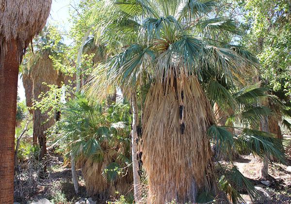 california-desert-palm