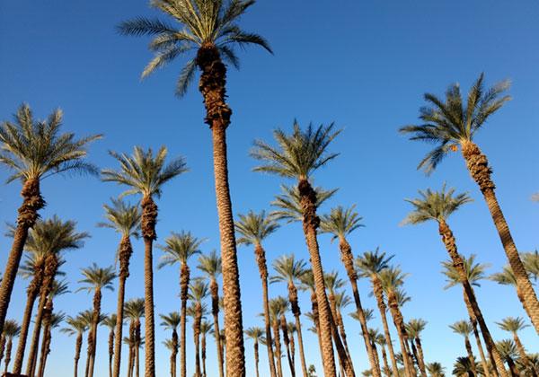 date-palm-trees-medjool-dates