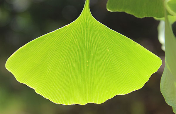 ginkgo-biloba-tree-leaf