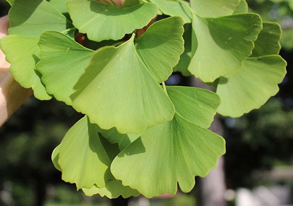 ginkgo-tree-leaves