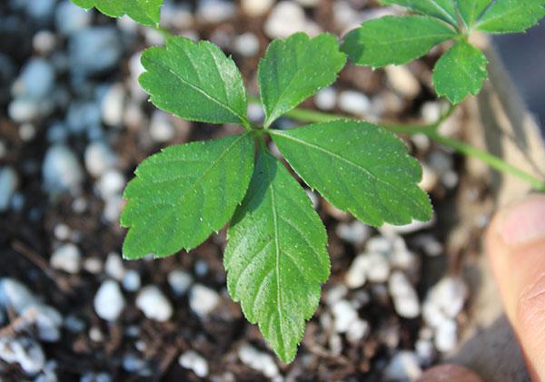 gynostemma-health-benefits-leaf