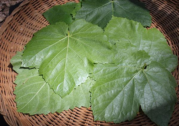 harvesting-wild-grape-leaves-for-recipe