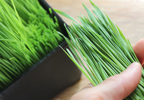 how-to-grow-wheatgrass-for-juicing