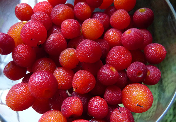 madrone-berry-harvest