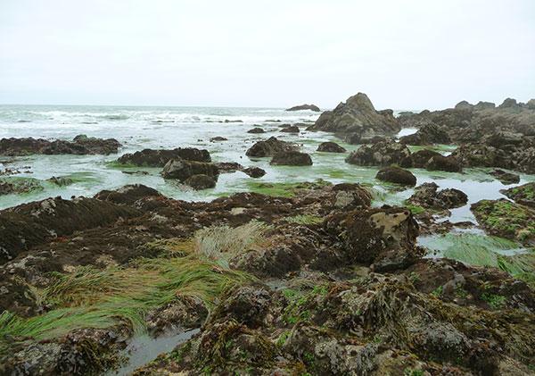 nori-harvesting-seaweed-low-tide