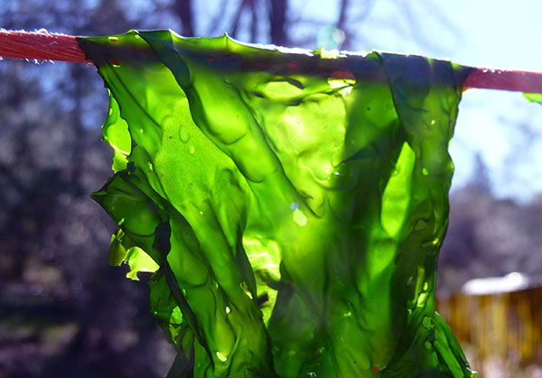 nori-seaweed-harvest-hanging-to-dry