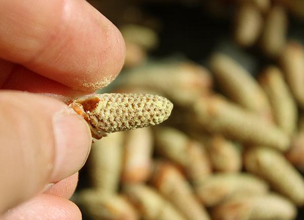 pine-pollen-powder-health-benefits