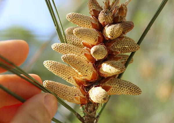 pine-tree-pollen-male-cones