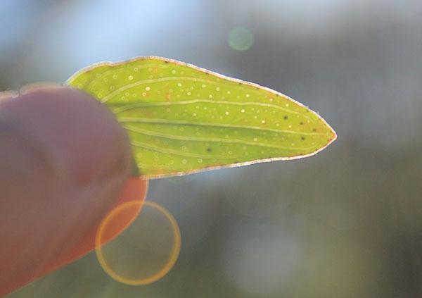 st-johns-wort-leaf-dots