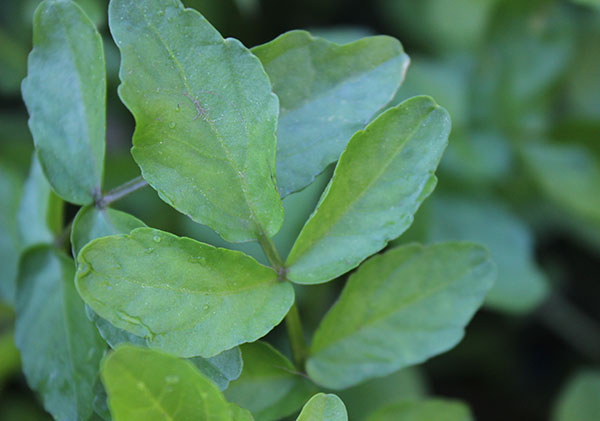 what-is-watercress-leaf