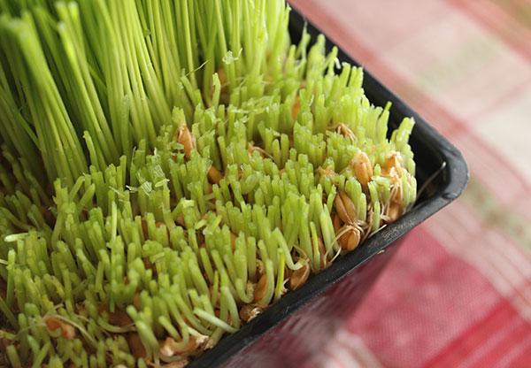 wheatgrass-harvesting