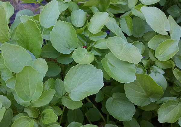 wild-watercress-patch