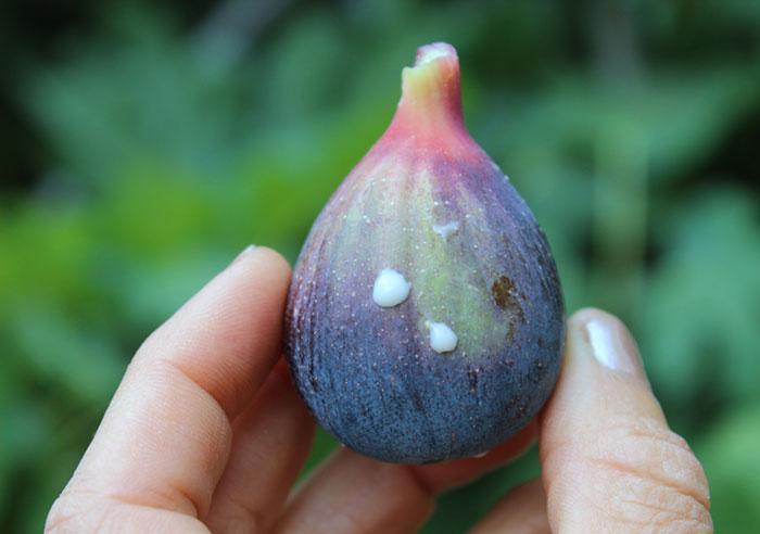 fig-fruit-ficin-content