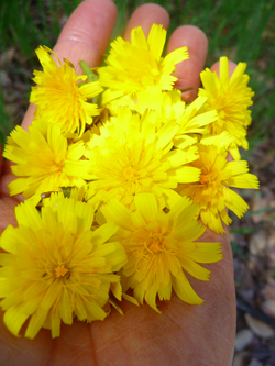 Wild-Edible-Dandelion-Flowers