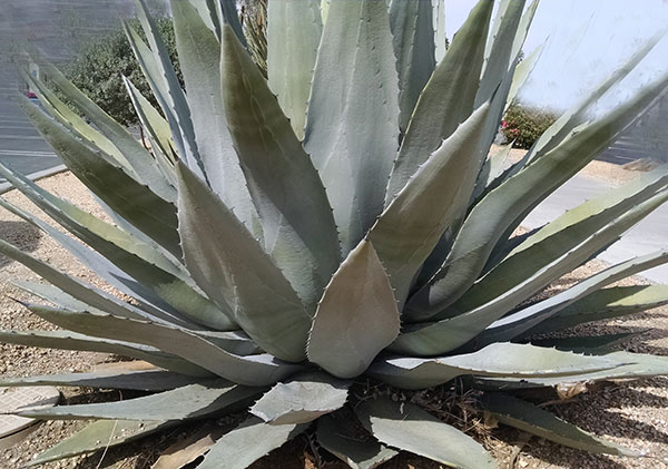 agave-nectar-related-plant-species