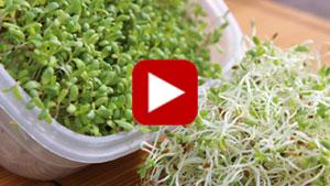 alfalfa-sprouts-vid