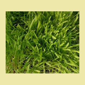 barley-grass-seeds-sproutman