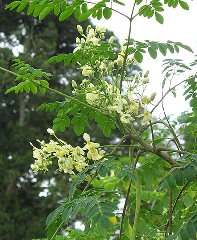 benefits-of-moringa-tree