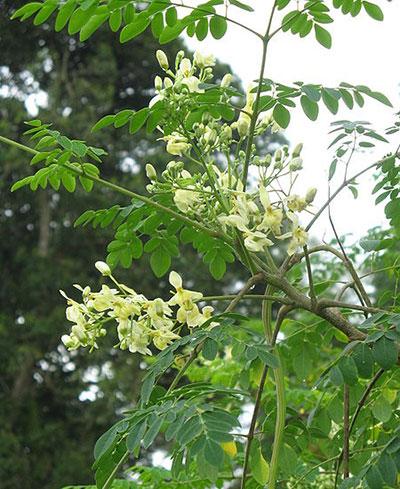 benefícios-de-moringa-árvore