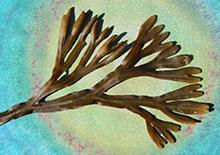 bladderwrack-seaweed-related-pages