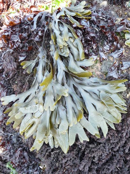 bladderwrack-seaweed