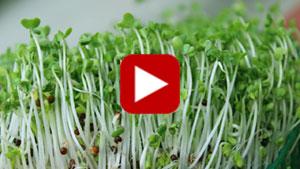 broccoli-sprouts-vid