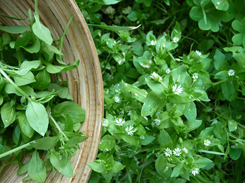 chickweed-plant