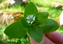 chickweed-related-pages