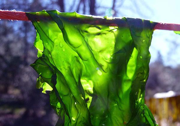chlorophyll-nori-seaweed