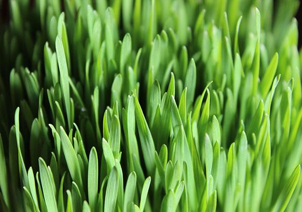 chlorophyll-wheatgrass-juice