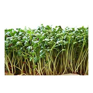 cress-garden-peppergrass-sprouts-1-amazon