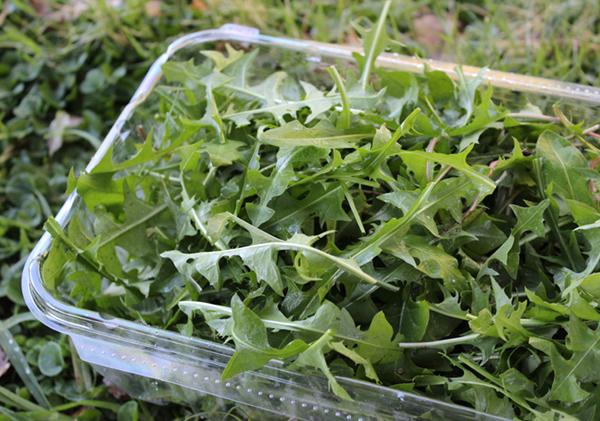 dandelion-greens-harvest