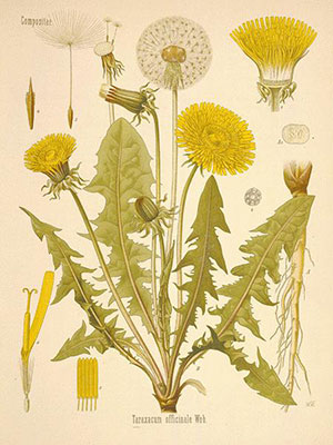 dandelion-greens-nutrition