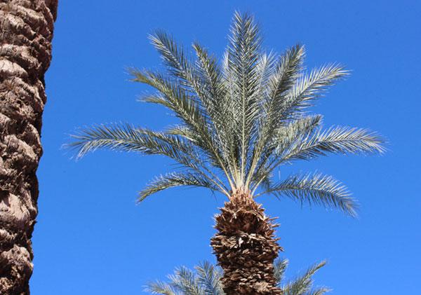 date-palm-tree
