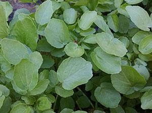edible-greens-wild-watercress