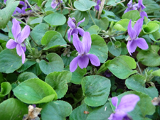 edible-violet-flowers.