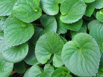 edible-wild-plants-violet-greens