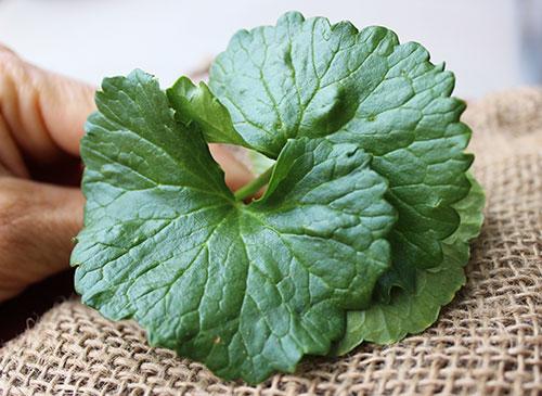 fresh-gotu-kola-leaves