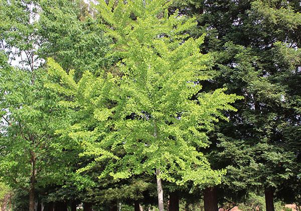 ginkgo-biloba-tree-harvest