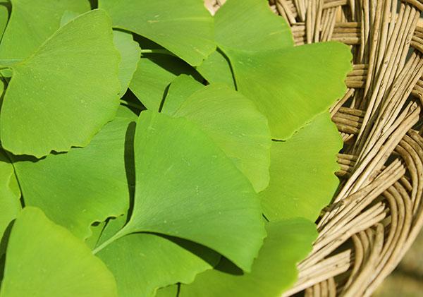 ginkgo-leaves-harvest