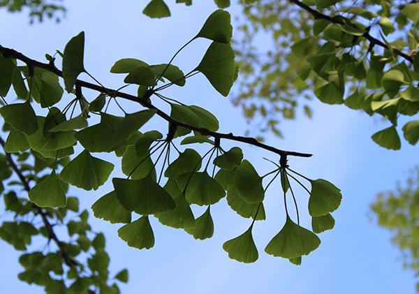 ginkgo-tree-branch-leaves