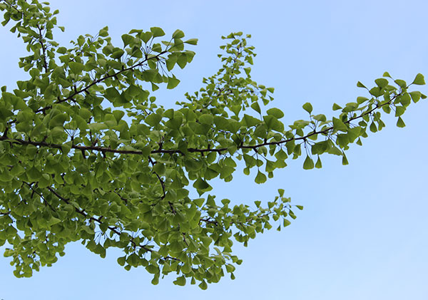 Image as well Ginkgo Biloba Benefits besides  furthermore Image moreover Ch 16lecturepresentation 39270704. on cardiovascular and brain