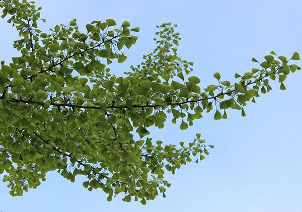 ginkgo-tree-leaves-branch