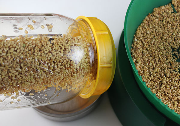 growing-alfalfa-sprouts-sprouting-teciniques
