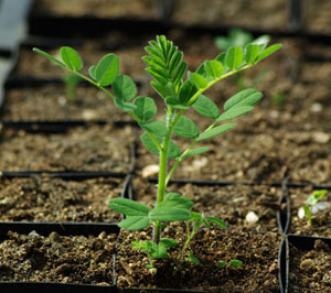 growing-astragalus-root