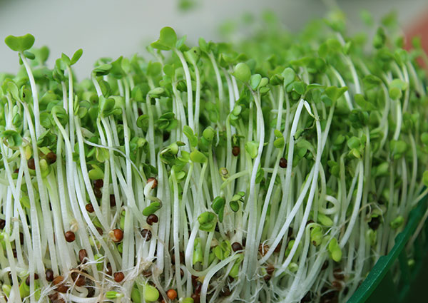 Sprouting Broccoli Seeds A Sprout Variety High In Glucoraphanin