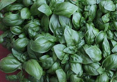 growing-microgreens-basil