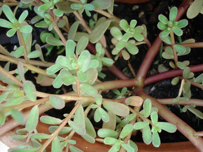 growing-purslane-plant