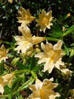 honeysuckle-flower