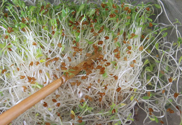 how-to-grow-alfalfa-sprouts-dehulling